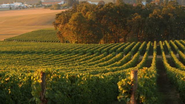 vineyard rows in morning light, willamette valley - azienda vinicola video stock e b–roll