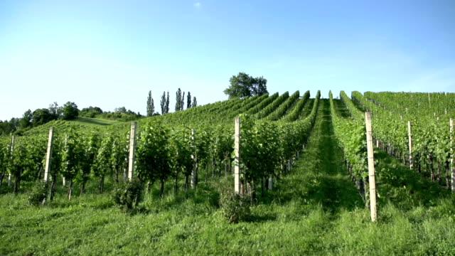 Vineyard rows. video