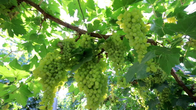 vineyard - uva riesling bianco video stock e b–roll