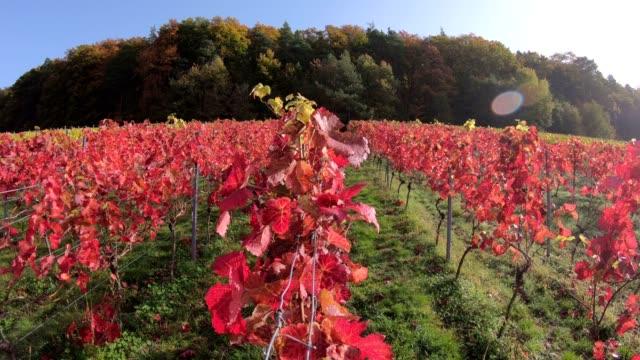Vineyard with colourful autumn leaves, autumn, Elsenfeld-Rück, Mainfranken, Spessart, Bayern, 4K video