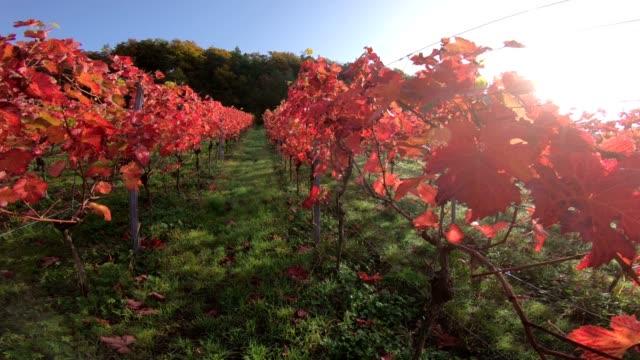 Vineyard with colourful autumn leaves, steadycam, autumn, Elsenfeld-Rück, Mainfranken, Spessart, Bayern, 4K video