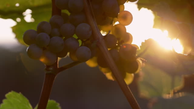 vineyard with yellow grapes at sunset - azienda vinivola video stock e b–roll