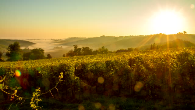 T/L Vineyards In The Sunrise