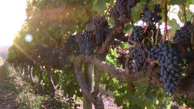 vineyards with bunches of grapes - lousada - qta de lourosa - azienda vinivola video stock e b–roll