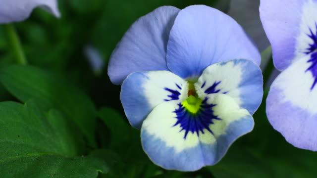 Viola cornuta blooming UHD 4K video