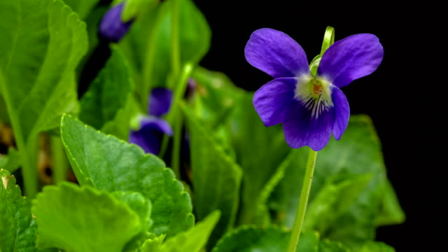 vídeos de stock e filmes b-roll de viola flower blooming in a 4k time lapse video on a black background. time lapse of violeae flower in motion. - violeta flor