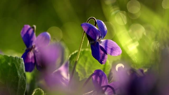 Viola Odorata Bloom in the grass