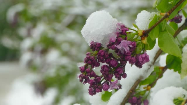 Violet blossoms are covered with snow video