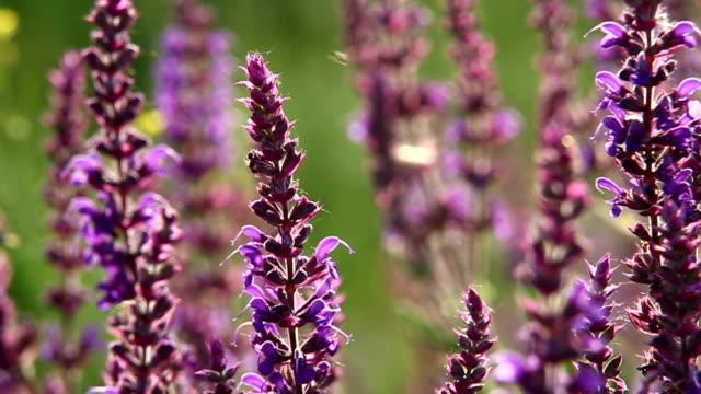 Violet cornflower in front of defocused green background video