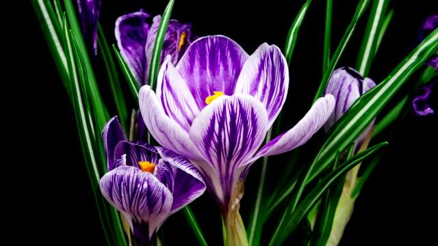 vidéos et rushes de violet fleur crocus de fleurs et délavage timelapse - crocus
