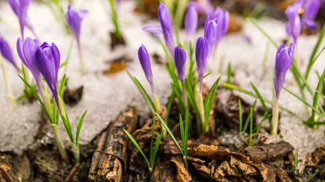 vidéos et rushes de fleurs de crocus violettes fleurissant dans le laps de temps de printemps de forêt neigeux - crocus