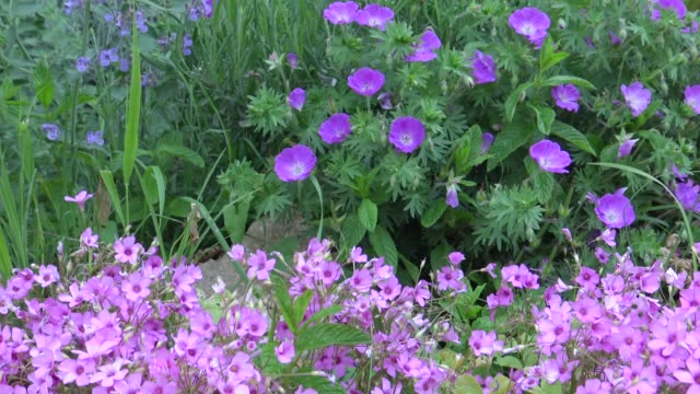 Violet flowers in the garden