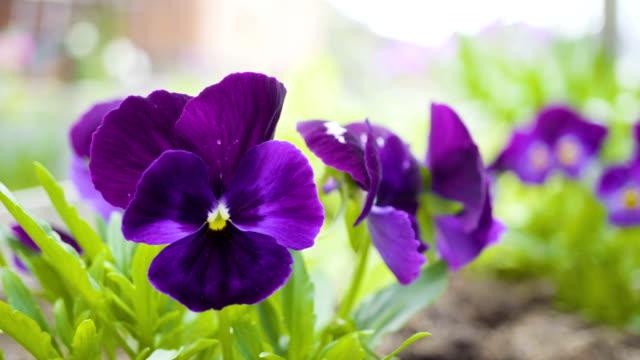 Violet flowers of pansies.