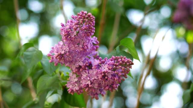 lilla viola al rallentatore 4k - giardino pubblico giardino video stock e b–roll