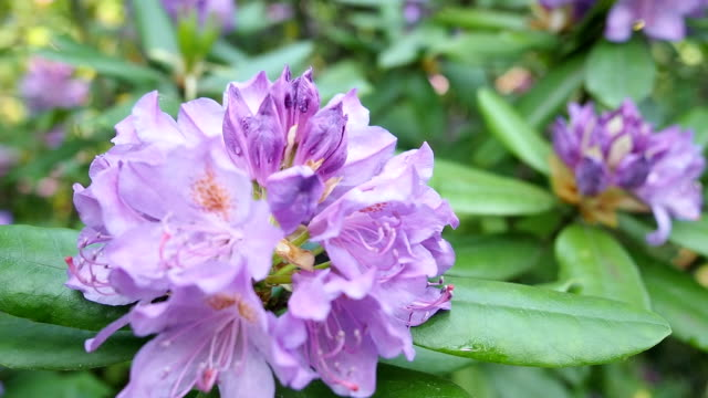 Violet Rhododendron flowers in the garden Beautiful blooming bunch of violet flowers (Rhododendron