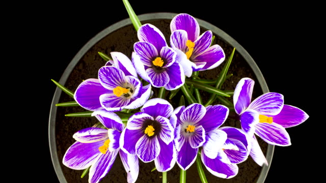 vidéos et rushes de violet-blanc crocus fleurissent au printemps. vue plongeante. isolé sur fond noir. laps - crocus