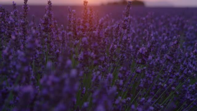 vídeos de stock e filmes b-roll de lens flare: vivid fields of lavender are illuminated by the golden setting sun. - lavanda planta