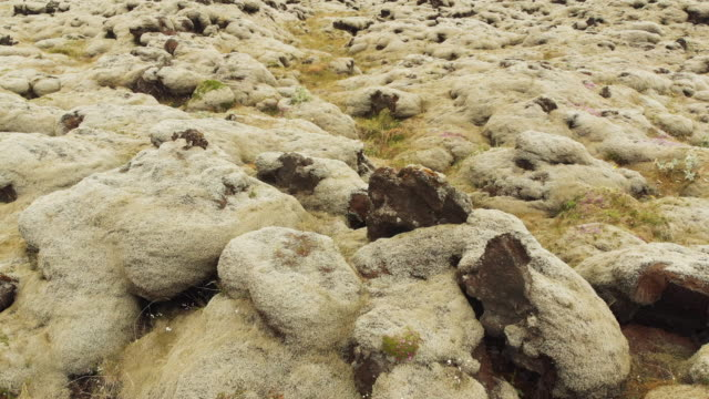Volcanic Land Surface (Lava Fields) Covered Nordic Plants in Iceland