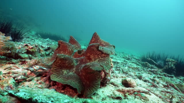 Vulnerable species Giant Clam (Tridacna gigas) on underwater coral reef