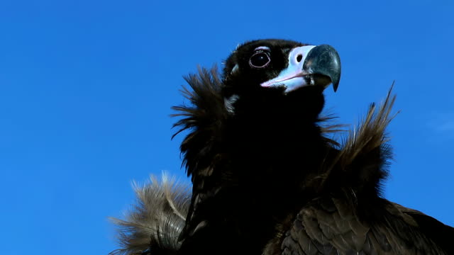 Vulture Aegyptius Monachus close up. Aegyptius Monachus on a windy and sunny day with beautiful clear blue sky in the steppe of Mongolia. vulture stock videos & royalty-free footage