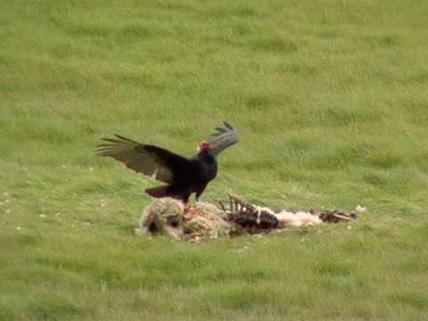Vulture and Sheep Carcass Vulture lands and begins to eat sheep carcass. sd PAL 4:3 new world vulture stock videos & royalty-free footage