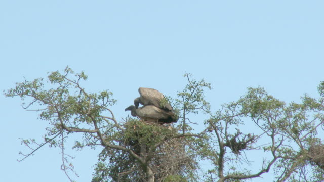 Vulture couple mating in their nest Vulture couple mating in their nest in top of a tree vulture stock videos & royalty-free footage