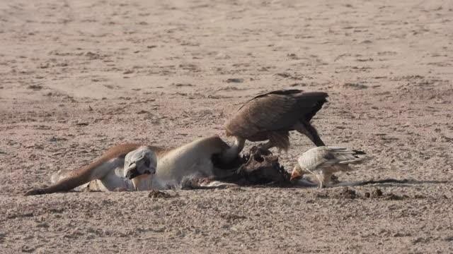 stockvideo's en b-roll-footage met gier die op karkas voedt - dood dier
