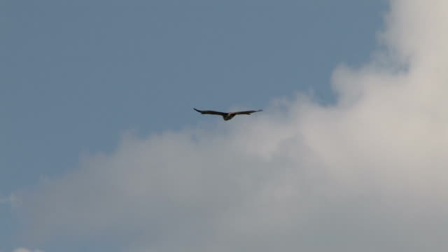 Vulture in the clouds - multi-format interlaced Vulture flying in the sky vulture stock videos & royalty-free footage