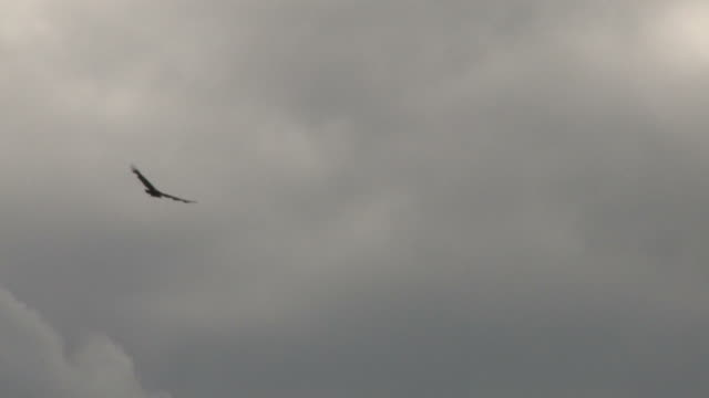 Vulture in the sky 2 - HD 1080/30f Vulture soaring and circling in the sky vulture stock videos & royalty-free footage