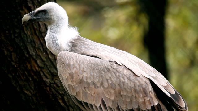 Vulture in zoo Vulture in zoo looking  new world vulture stock videos & royalty-free footage