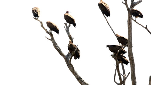 Vulture on tree Vultures are perching on tree vulture stock videos & royalty-free footage