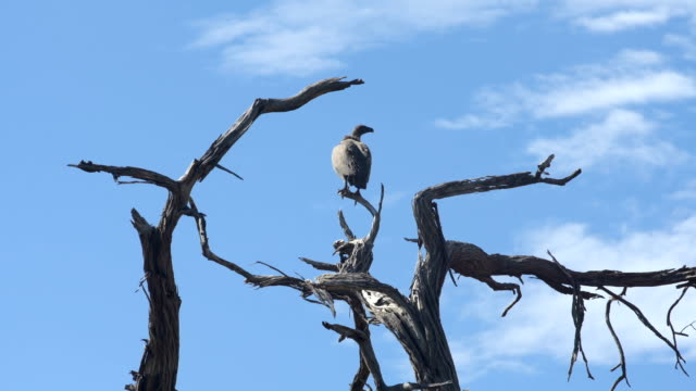 Vulture sitting on a bare tree Vulture sitting on a bare tree and looking around. African savannah vulture stock videos & royalty-free footage