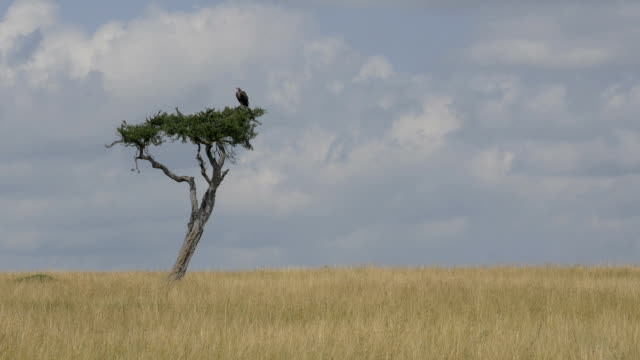 Vulture sitting on a solitary tree in Africa Vulture sitting on a solitary tree in Africa new world vulture stock videos & royalty-free footage