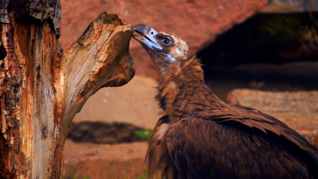 A vulture sitting on the ground and cleans its beak after eating video