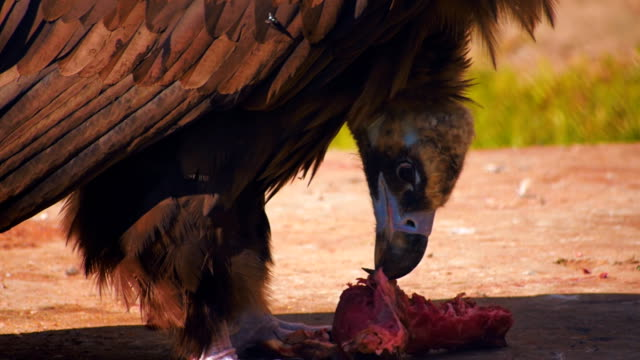 A vulture sitting on the ground, tears off pieces of meat and eat them video
