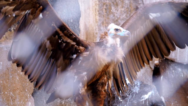A vulture sitting on the stone behind the fence and opens wide its wings video