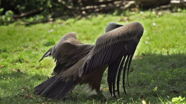 SLOW MOTION: Vulture Slow motion shot of a vulture. scavenging stock videos & royalty-free footage