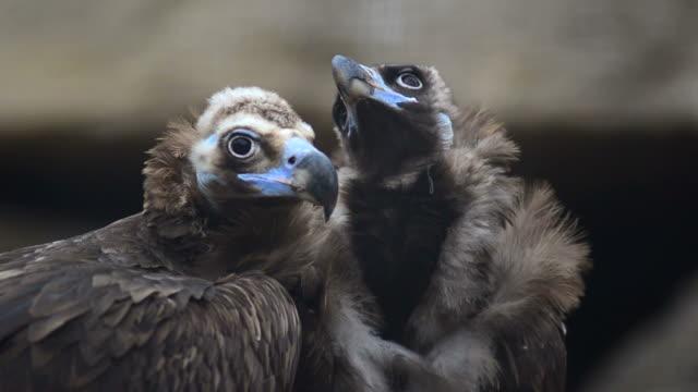 Vulture video