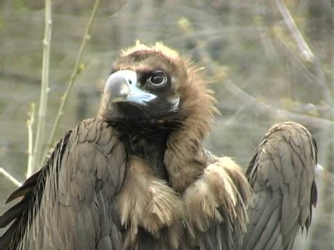 vulture  - großwild stock-videos und b-roll-filmmaterial