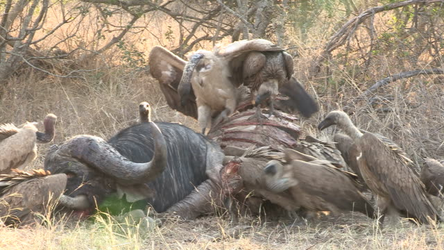 stockvideo's en b-roll-footage met vultures at a buffalo carcass - dierlijk bot