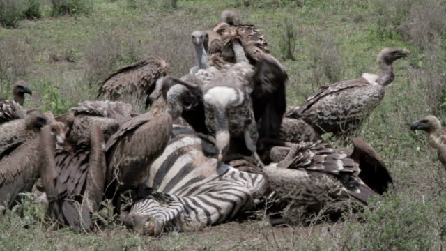 vultures eating zebra carcass vultures eating zebra carcass in the veldt vulture stock videos & royalty-free footage