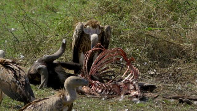 stockvideo's en b-roll-footage met close up: vultures feeding on a buffalo carcass - dood dier