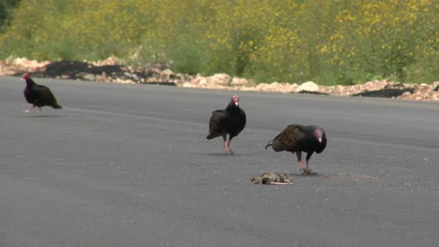 Vultures feeding on a roadkill video