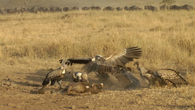Vultures feeding Vultures feeding on a Wildebeest with a herd passing behind. new world vulture stock videos & royalty-free footage