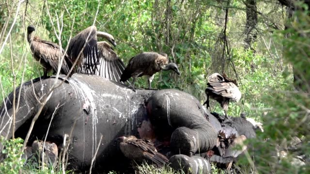 Vultures Fighting Over Dead Elephant in Afr;ica A flock of vultures fight over a dead elephant in Tanzania Africa near the Serengeti National Park in the Ngorongoro conservation area. dead stock videos & royalty-free footage