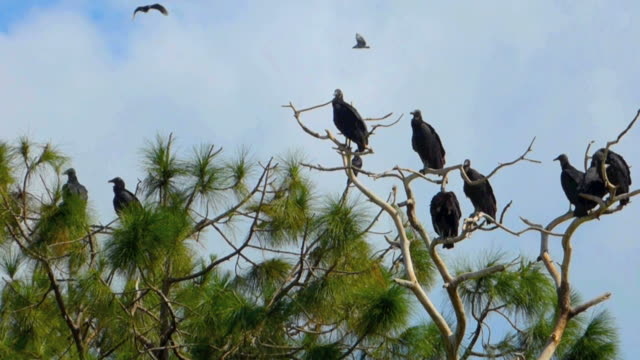 Vultures in a Dead Tree video