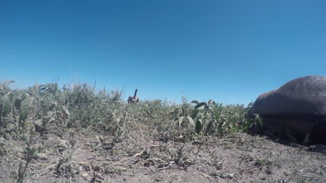 stockvideo's en b-roll-footage met gieren op een wildebeest-karkas, ooghoogte. - dood dier