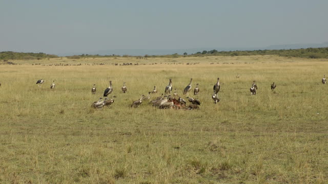 vultures Vultures heading to a kill after a lion had finished eating. scavenging stock videos & royalty-free footage