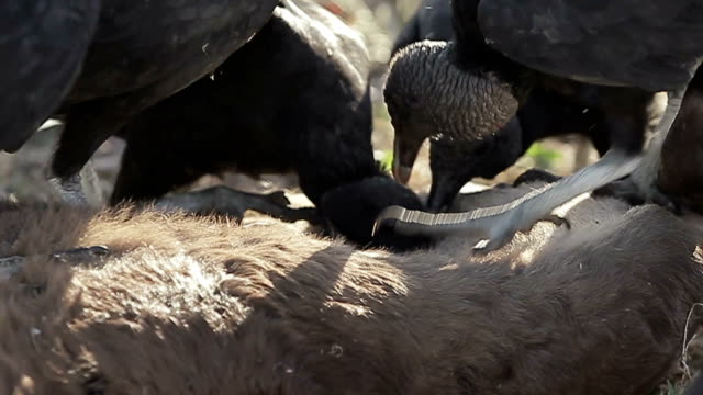 Vultures A vulture pack in a feeding frenzy. scavenging stock videos & royalty-free footage