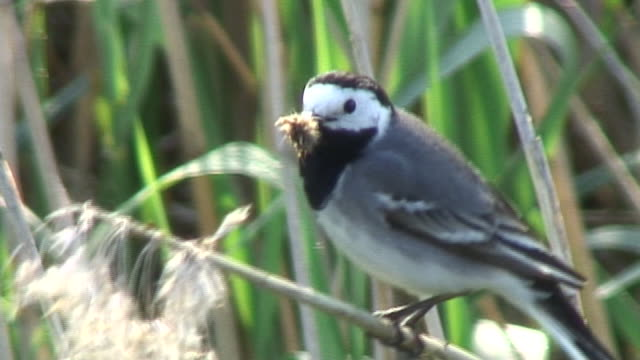 Wagtail on a straw  animal body stock videos & royalty-free footage